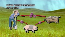 Afrykański pomór świń – cz. 1